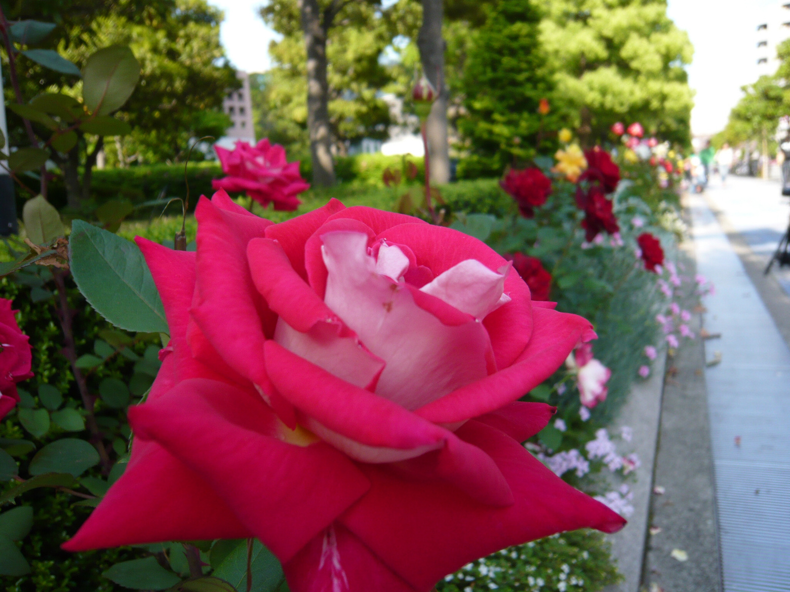 Street_lined_with_roses_2