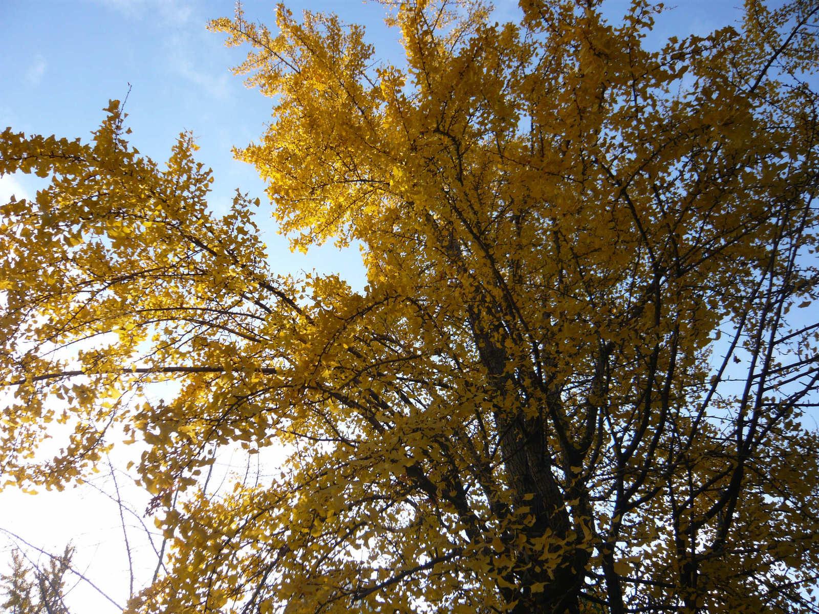 Ginkgo_tree