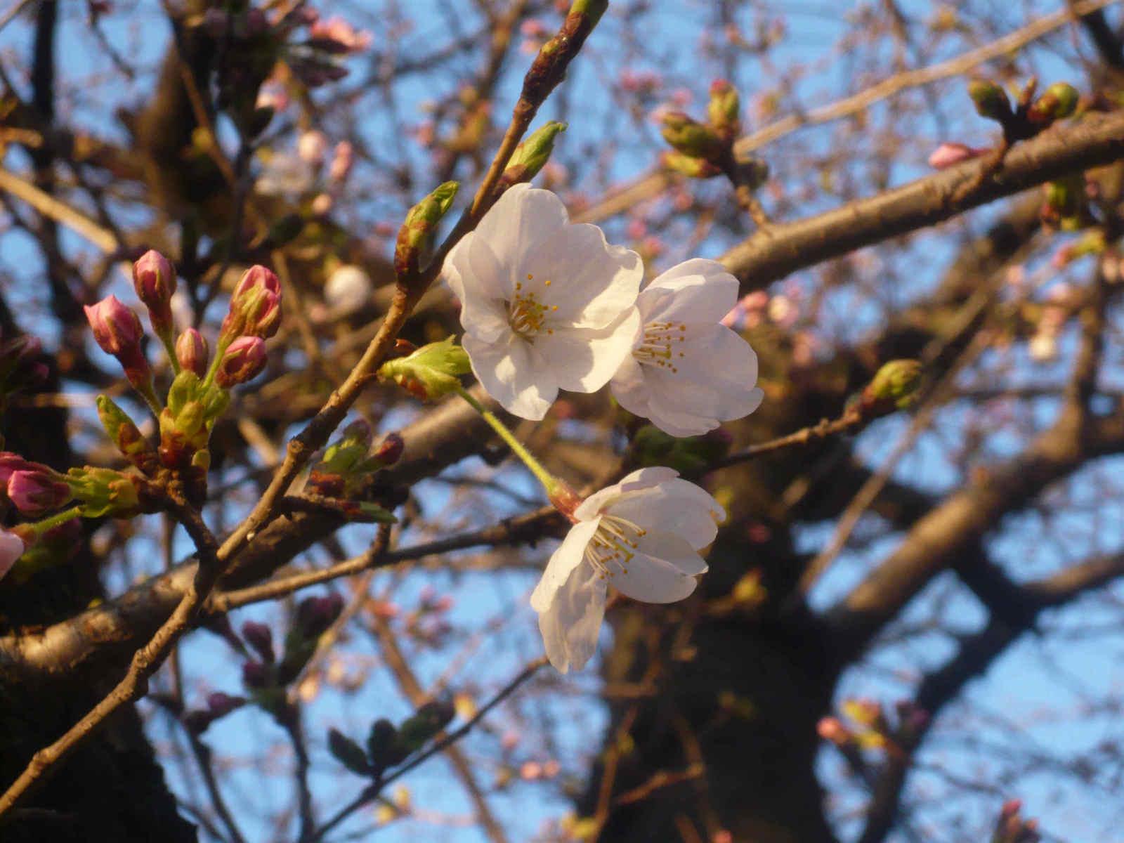 Sakura_0326