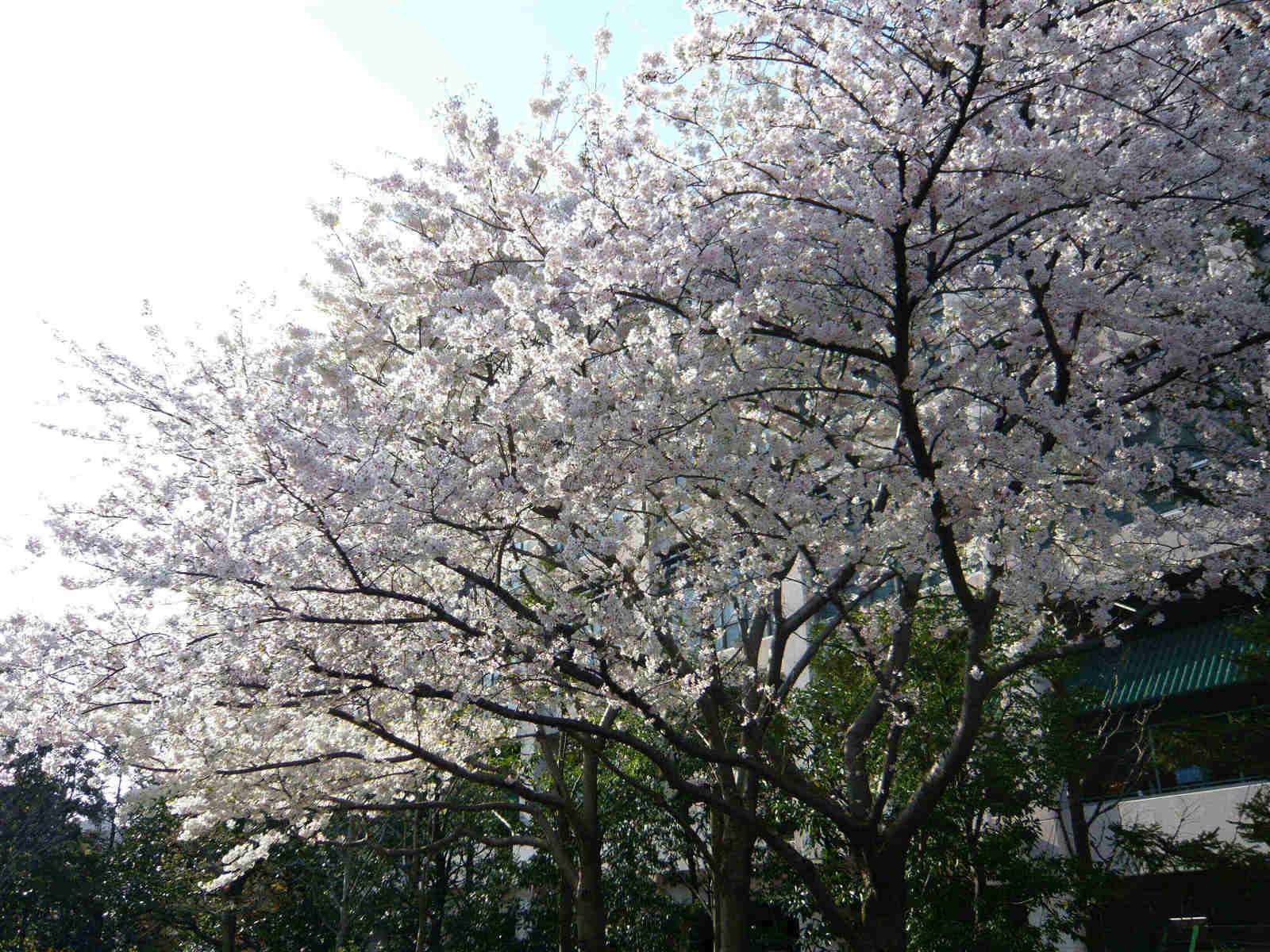 Sakura_no_ki