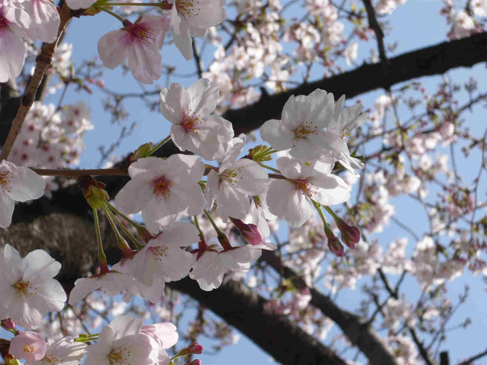 Pink_blossoms_2