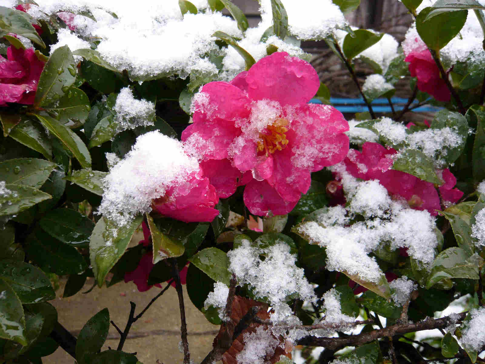 Camellia_and_snow
