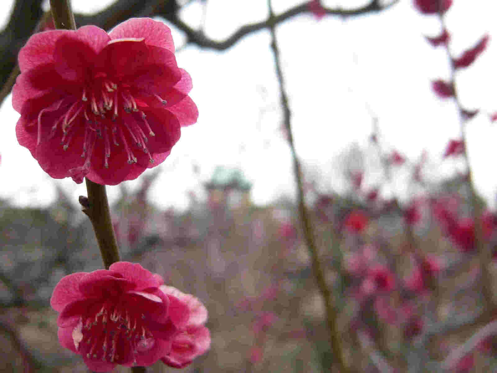 Ume_red