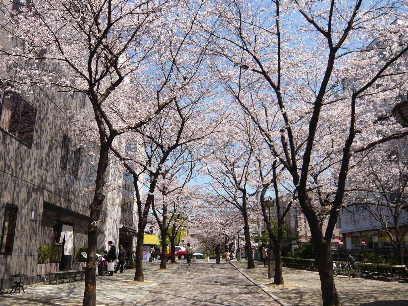 Sakura_tunnel