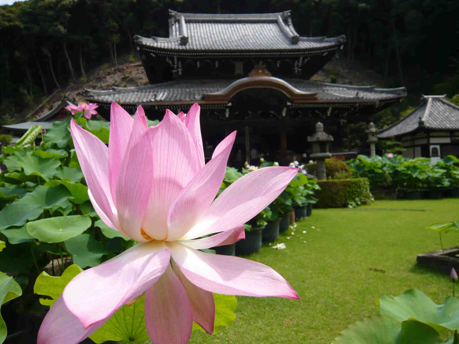 Lotus_and_temple