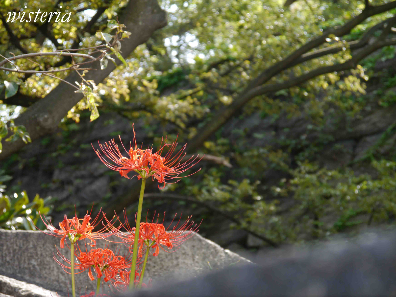 Spider_lily
