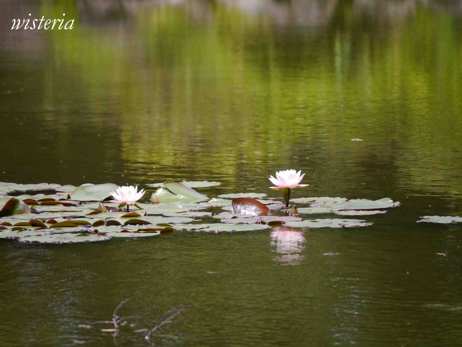 Water_lily_2