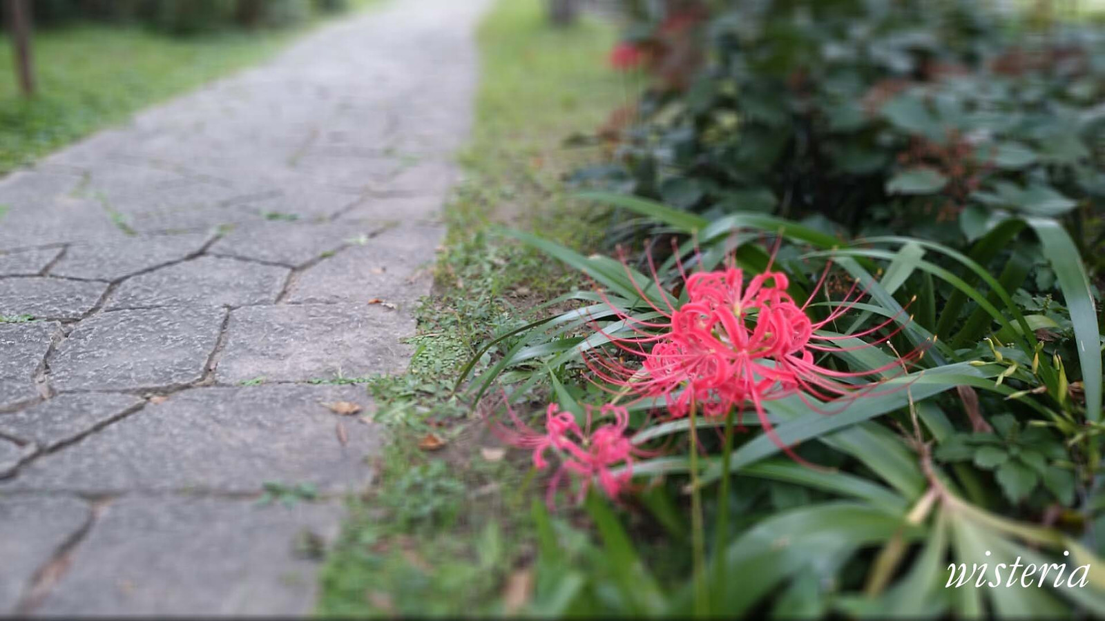 Spider_lily_2015