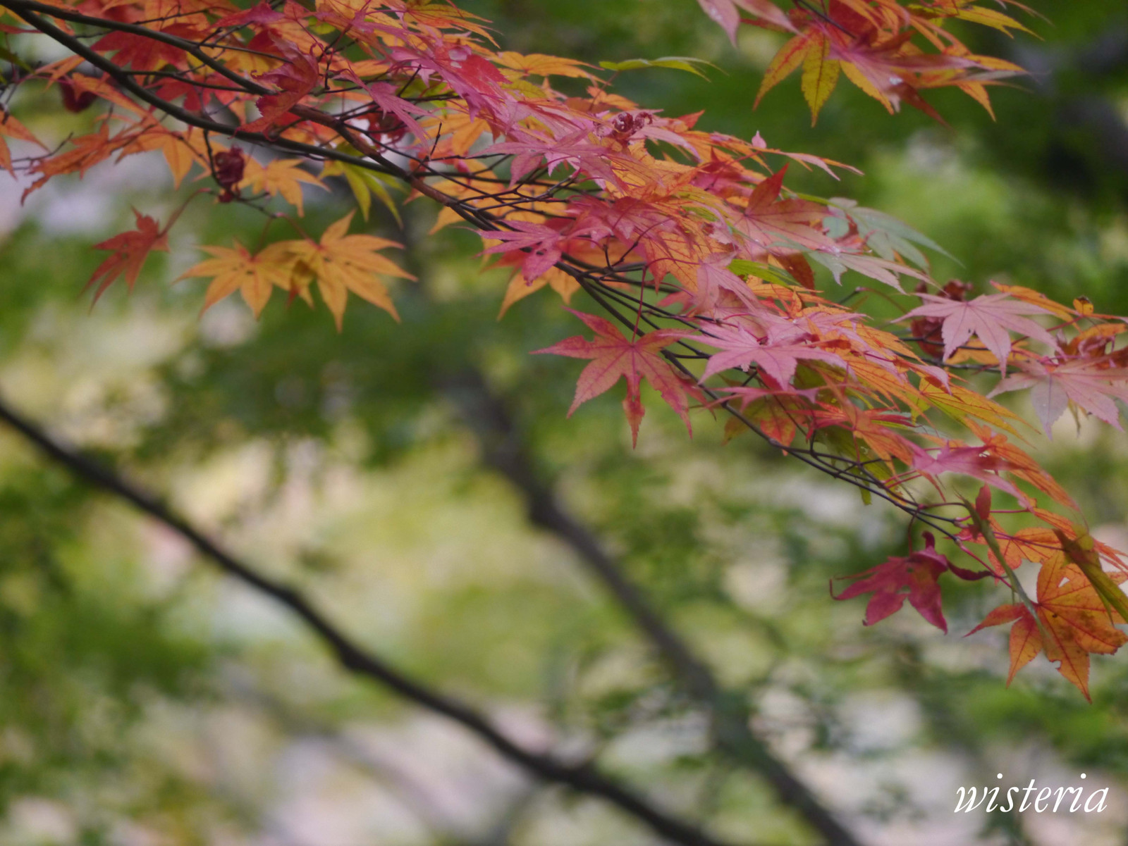 Autumn_leaves_1