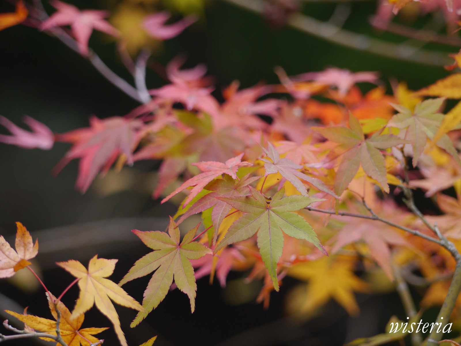 Autumn_leaves_3